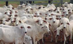 Embrapa realiza live sobre melhoramento genético do gado de corte